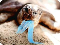 turtleingestingplastic_430x323